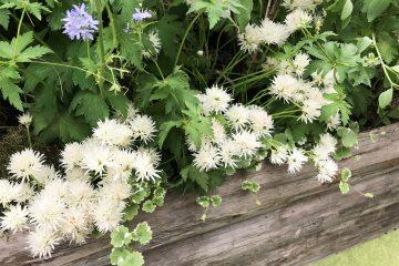 アリウム 白花チャイブ